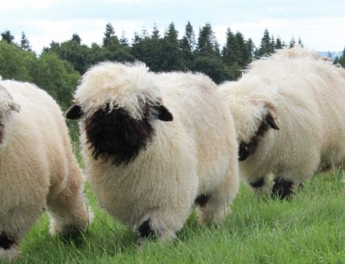 Valais Blacknose Buyers Guide