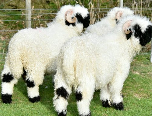 Rams for Sale 14/04/20