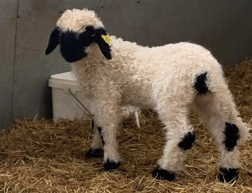 Ewe and Ram lambs available to buy