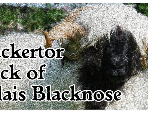Blacketor Blacknose