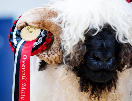 Blacknose Beauties Show and Sale 2021 Review